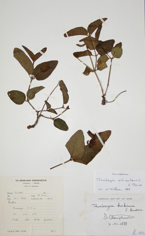 Thunbergia schimbensis
