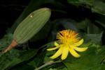 Glyphaea tomentosa