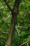 Acacia torrei