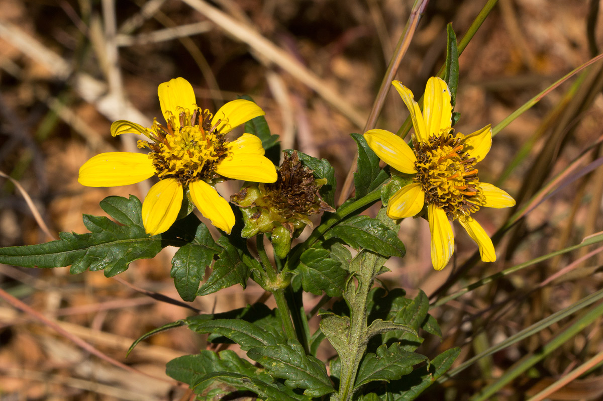 Bidens pinnatipartita
