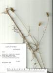 Bidens acuticaulis var. acuticaulis