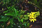 Tristellateia africana