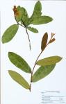 Acridocarpus chloropterus