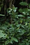 Hilleria latifolia