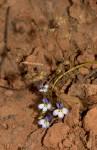 Lobelia trullifolia subsp. trullifolia