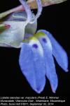 Lobelia caerulea var. macularis