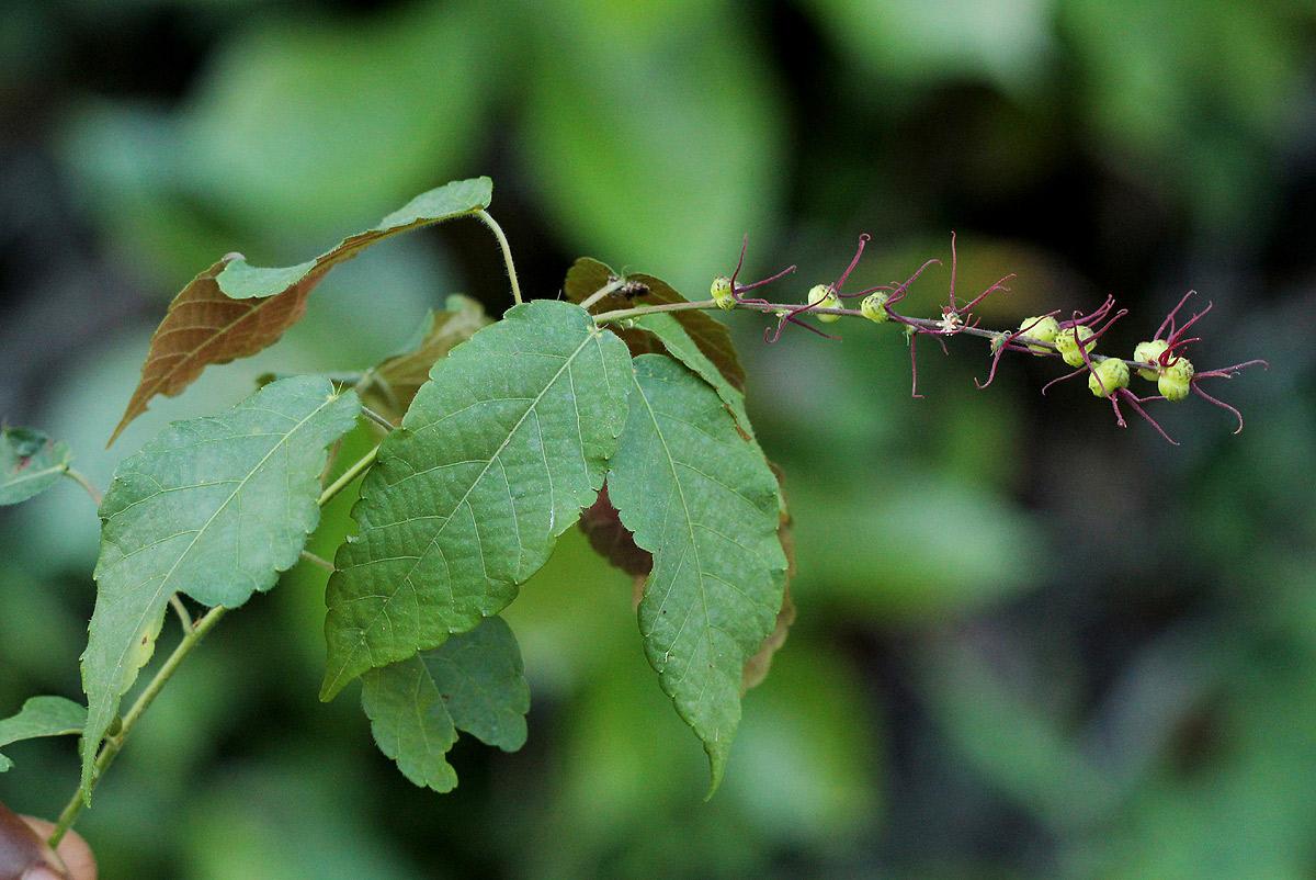 Alchornea yambuyaënsis