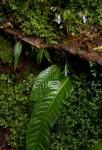 Streptocarpus brachynema