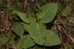 Fadogia triphylla var. triphylla