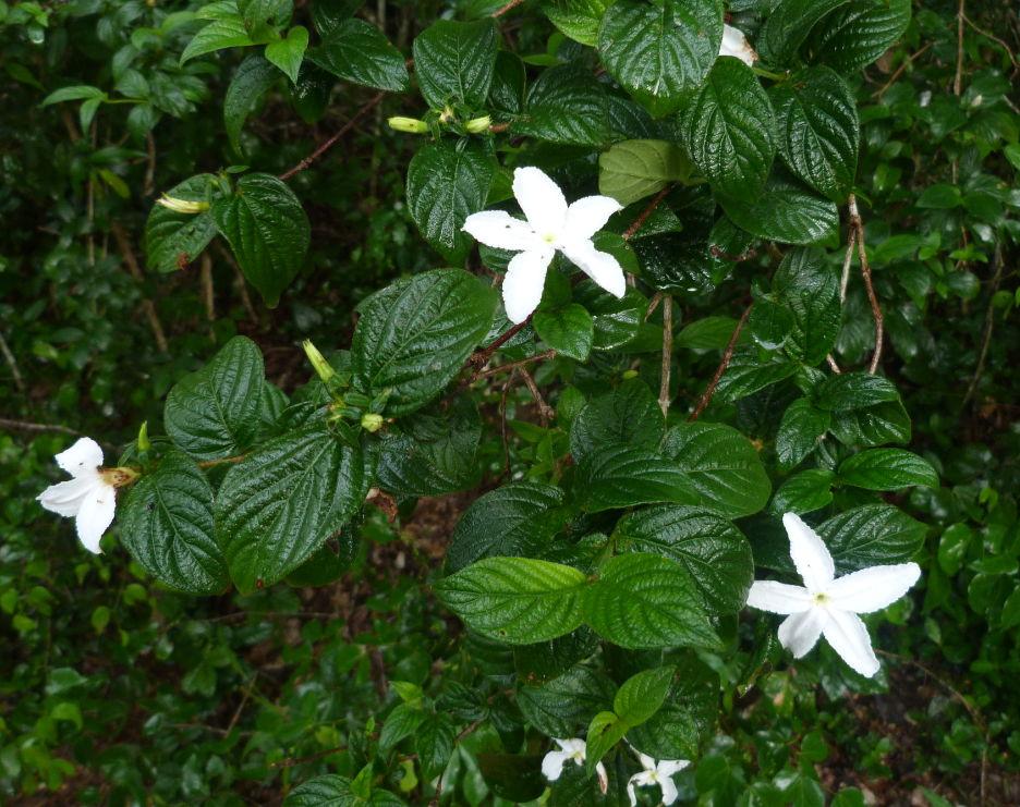 Heinsia zanzibarica