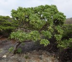 Argusia argentea