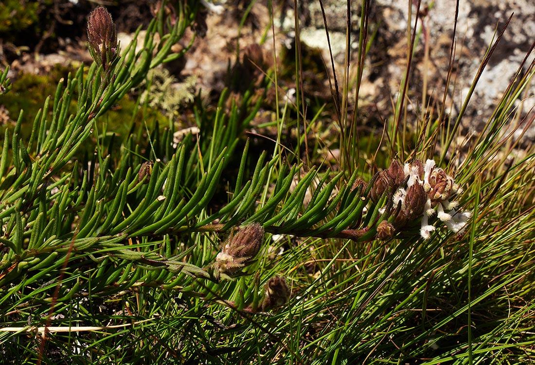 Aeollanthus subacaulis var. linearis