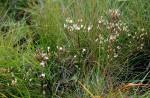 Swertia usambarensis var. curtioides