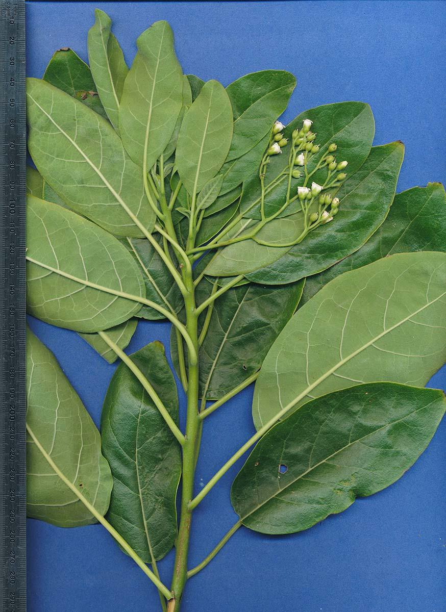 Hilsenbergia petiolaris