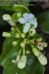 Psychotria amboniana subsp. mosambicensis