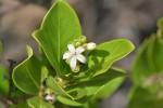 Triainolepis sancta