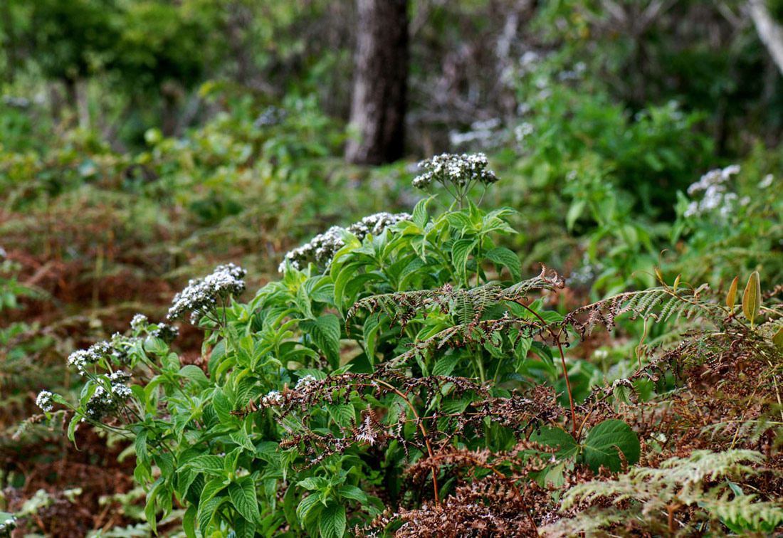 Pentas zanzibarica subsp. milangiana