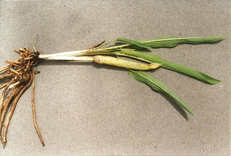 Stylochaeton borumensis