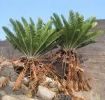 Encephalartos turneri