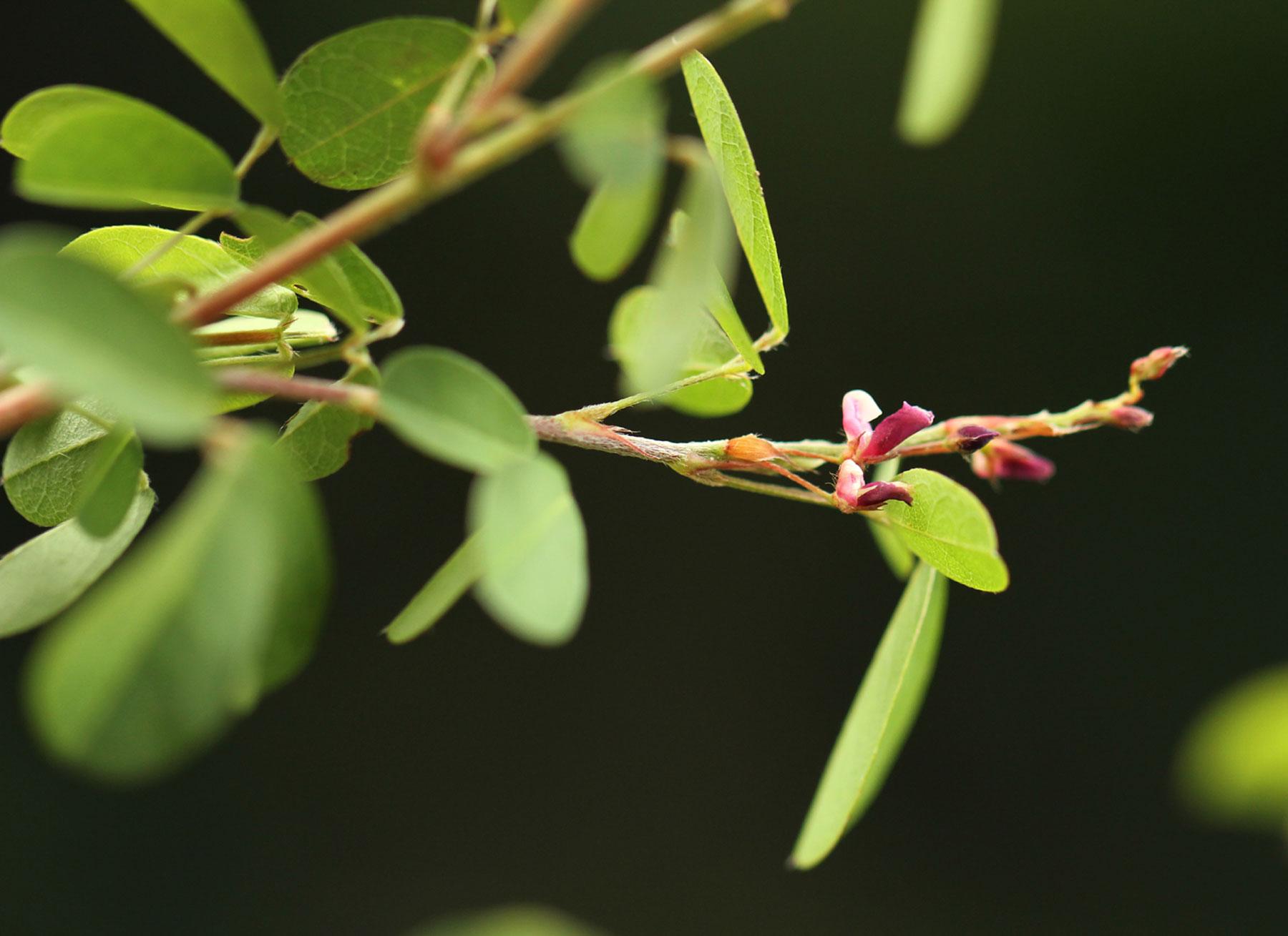 Grona ramosissima
