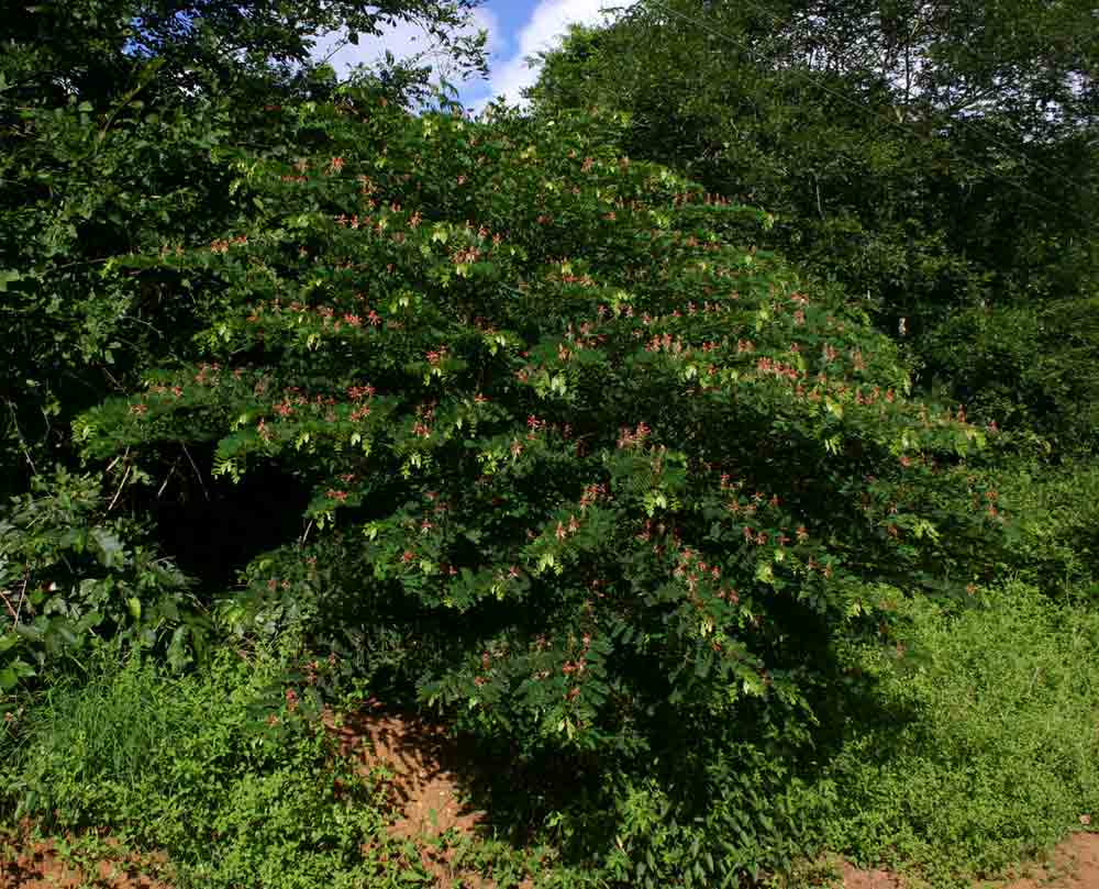 Indigofera fulgens subsp. fulgens