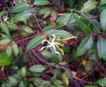 Landolphia parvifolia