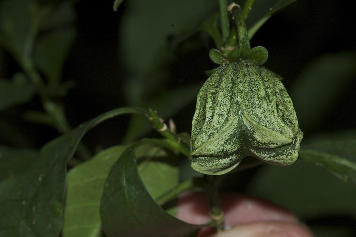 Callichilia orientalis