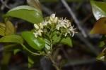 Strychnos panganensis
