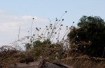 Cephalaria integrifolia