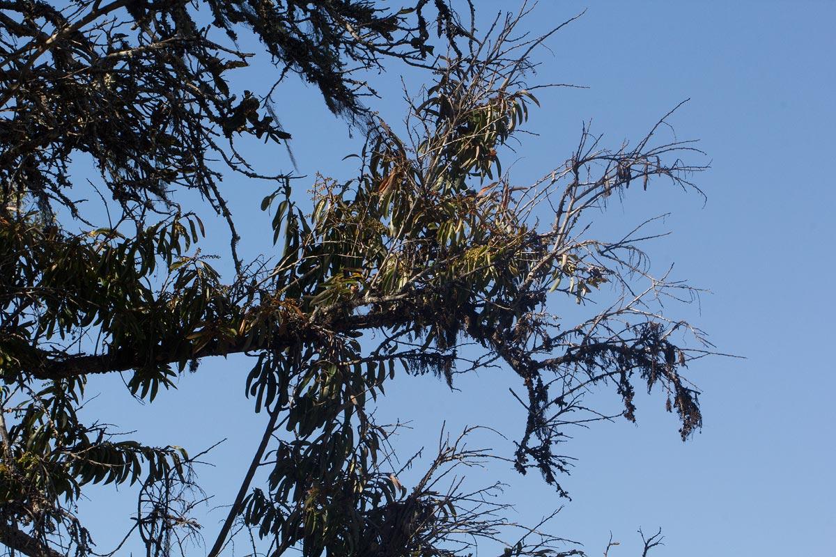 Agauria salicifolia