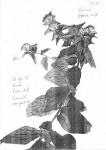 Vernonia purpurea