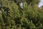 Vitex trifolia var. bicolor