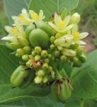 Jatropha latifolia var. subeglandulosa
