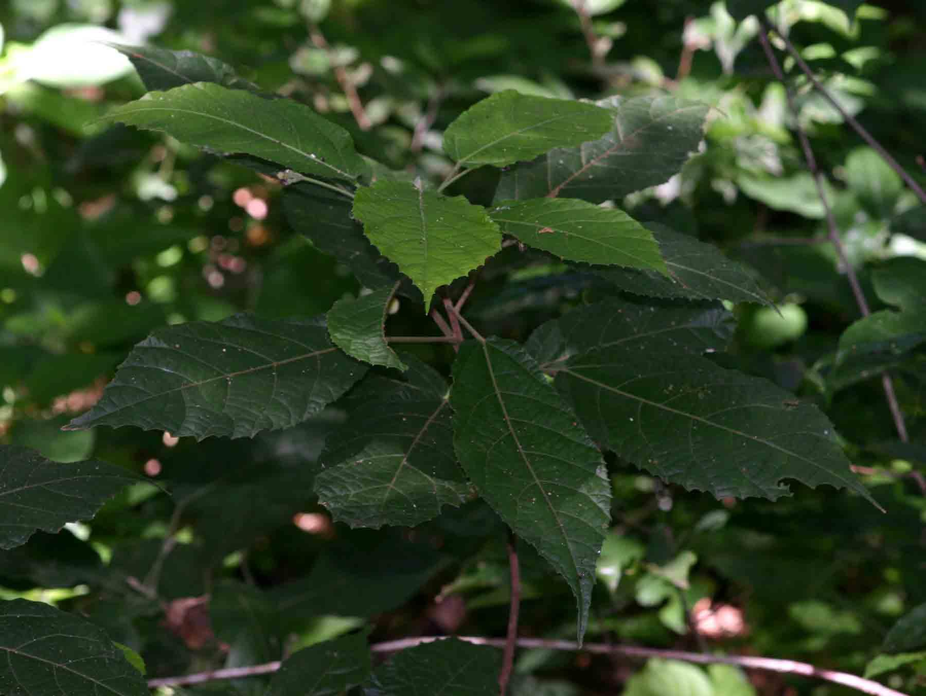 Mildbraedia carpinifolia var. strigosa