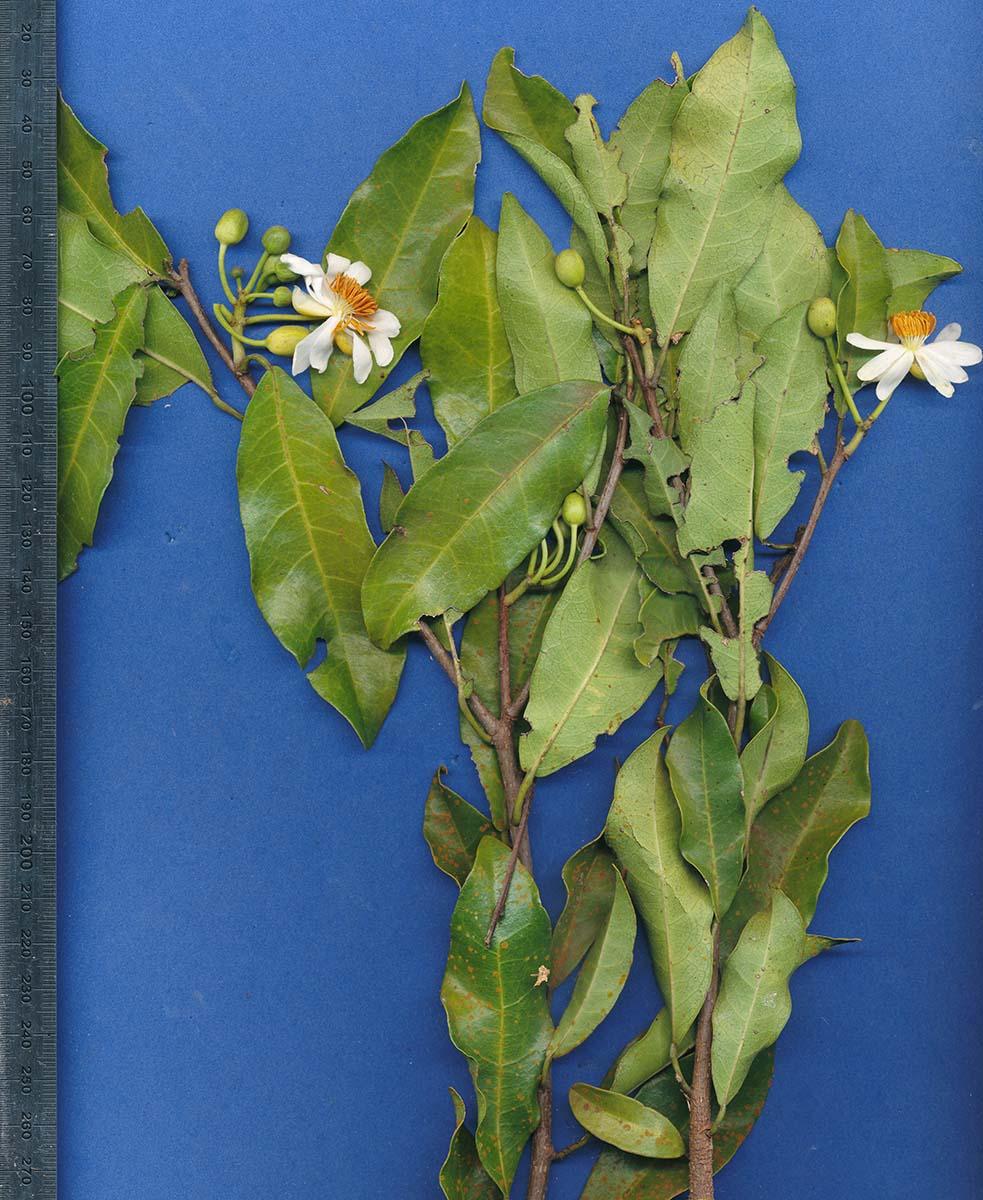 Xylotheca kraussiana var. kraussiana