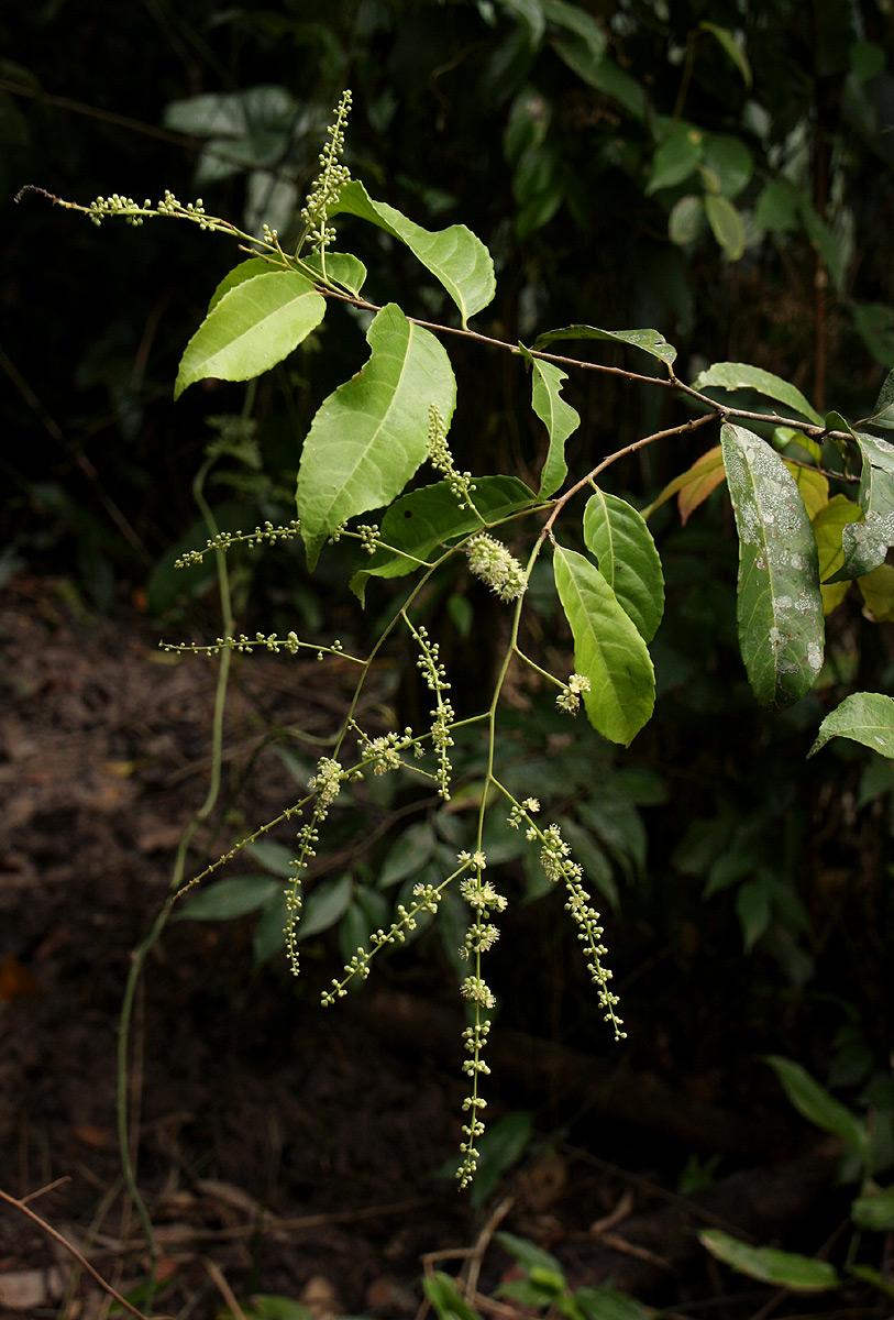 Homalium africanum