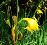 Gladiolus dalenii subsp. dalenii (yellow form)