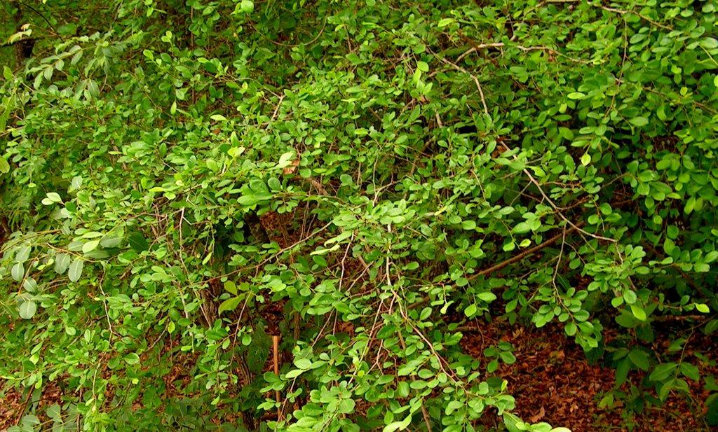 Margaritaria discoidea var. triplosphaera
