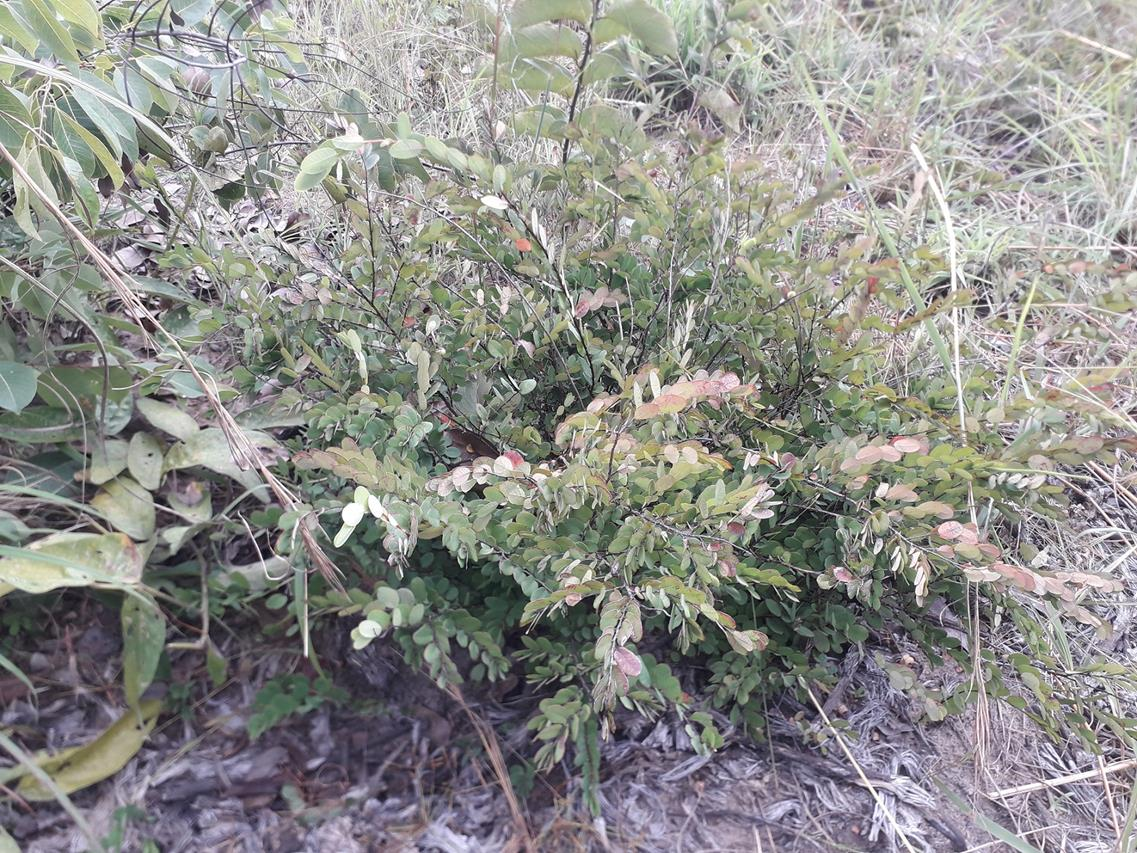Phyllanthus welwitschianus