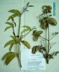 Garcinia volkensii