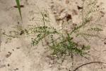 Phyllanthus nummulariifolius