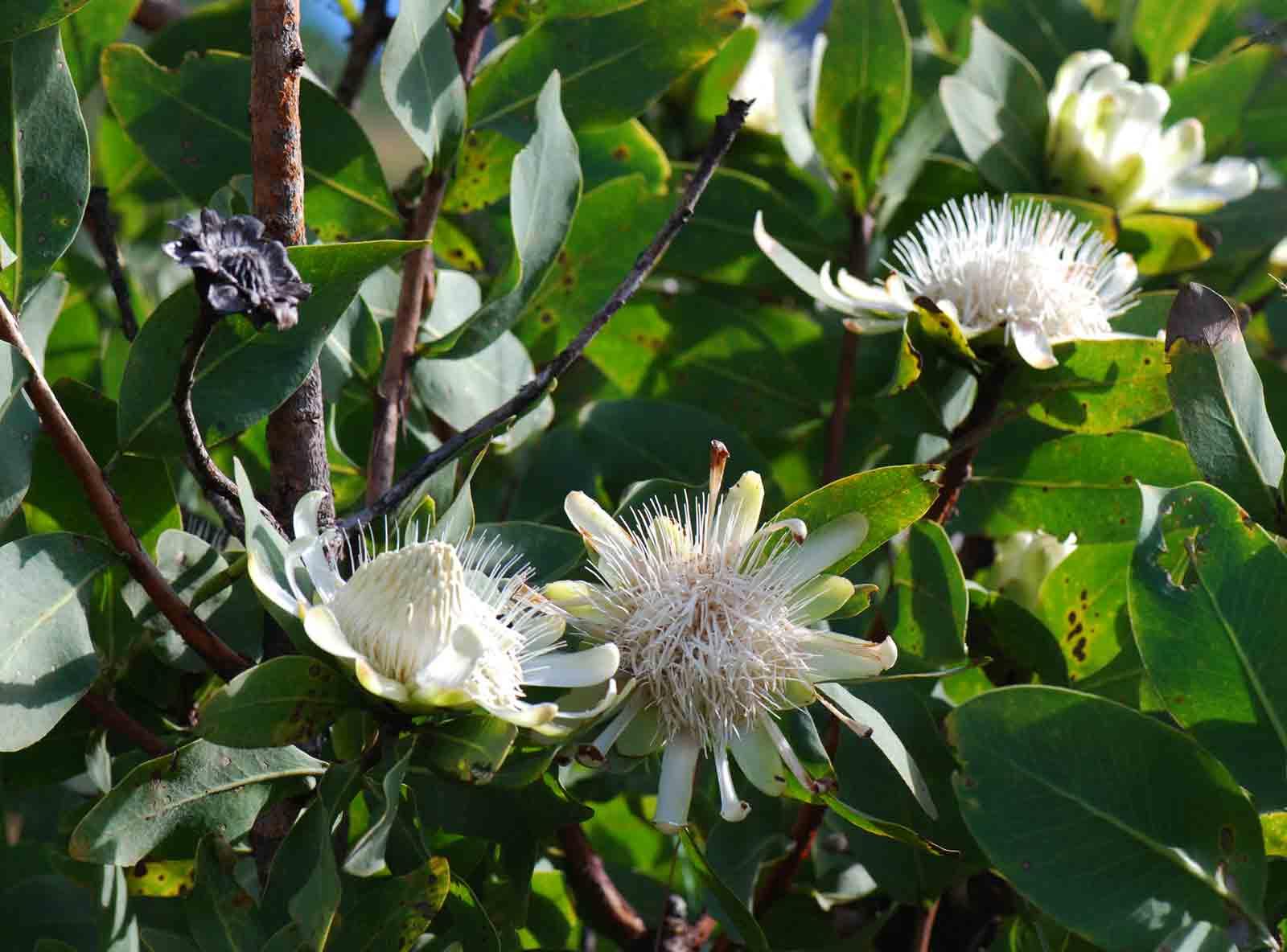 Protea madiensis subsp. madiensis