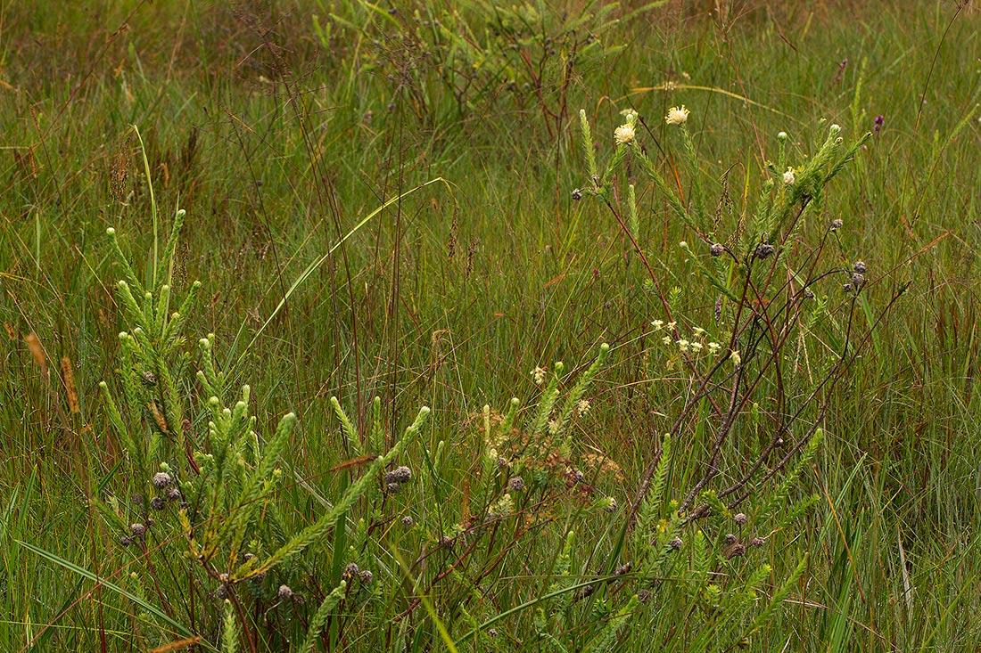 Gnidia mollis
