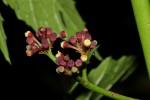Cissus bathyrhakodes