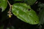 Grewia transzambesica