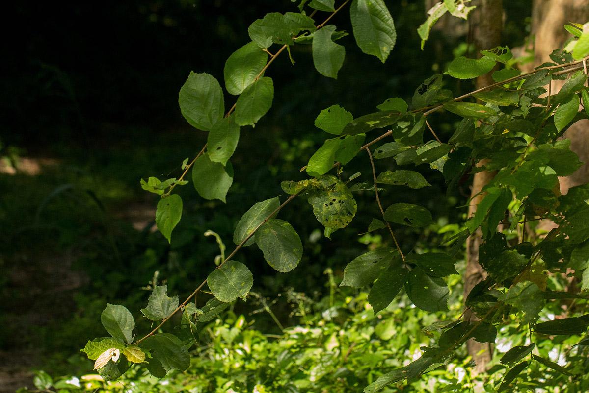 Grewia forbesii