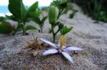 Grewia occidentalis var. litoralis