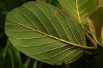 Monotes africanus