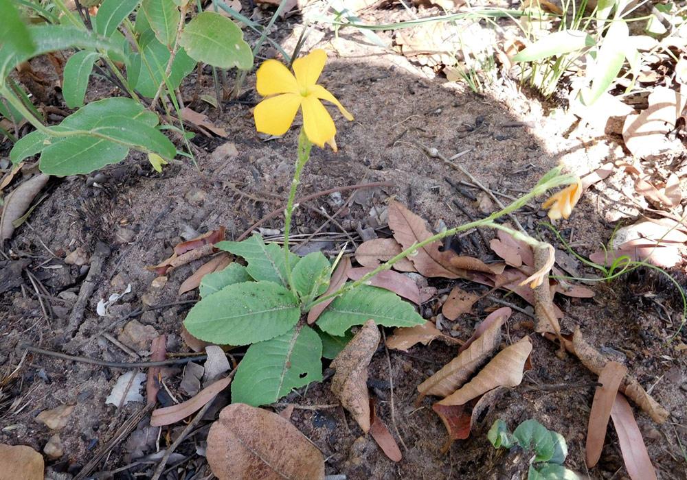 Tricliceras brevicaule var. rosulatum