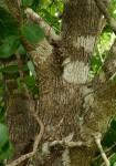 Dobera loranthifolia